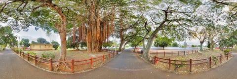 Árvore de Banyan Fotografia de Stock Royalty Free