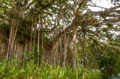 Árvore de Banyan imagem de stock royalty free