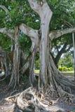 Árvore de Banyan (citrifolia do ficus) fotos de stock