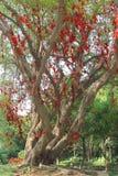 Árvore de Banyan da felicidade com as fitas vermelhas em China Imagem de Stock
