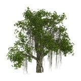 árvore de Banyan da rendição 3D no branco Foto de Stock Royalty Free
