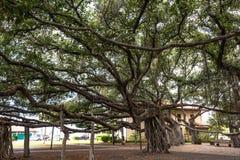 Árvore de Banyan em Lahaina, Maui fotografia de stock