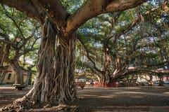 A árvore de Banyan em Lahaina Maui, HI imagem de stock