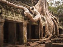 A árvore de Banyan enraíza o templo da coberta Fotos de Stock Royalty Free