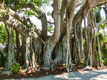 Árvore de banyan grande no jardim imagem de stock