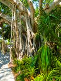 Árvore de banyan grande no jardim fotografia de stock royalty free