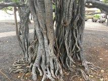 Árvore de Banyan de Lahaina em Maui foto de stock