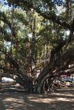 Árvore de Banyan Lahaina Maui Imagens de Stock Royalty Free