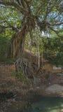 Árvore de Banyan perto do forte destruído velho no ne do distrito de Rajsamand foto de stock royalty free