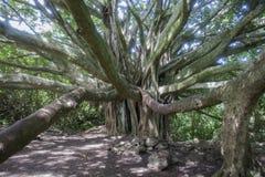 Árvore de Banyan que alcança para a câmera imagens de stock royalty free