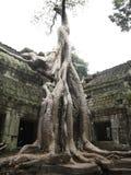 Árvore de Banyan que cresce sobre o templo Ta Prohm Fotografia de Stock