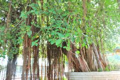 A árvore de banyan sagrado em Jyotisar, Kurukshetra fotografia de stock royalty free