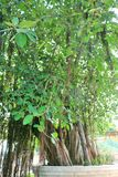 A árvore de banyan sagrado em Jyotisar, Kurukshetra fotos de stock