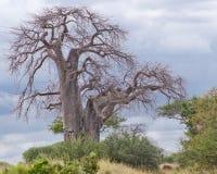 Árvore de Baoba Fotos de Stock Royalty Free