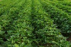 Árvore de batata doce imagem de stock