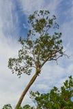 Árvore de Beval Imagens de Stock