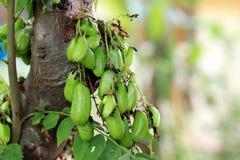 Árvore de Bilimbi Linn/Bilimbi/cucumber do Averrhoa Imagem de Stock Royalty Free