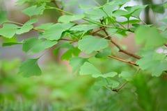Árvore de Biloba do Ginkgo - folha verde Fotos de Stock Royalty Free