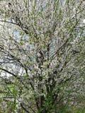 Árvore de Bloosom Fotografia de Stock Royalty Free