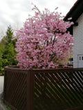 Árvore de Bloosom Imagens de Stock Royalty Free