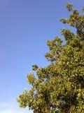 árvore de BO Imagens de Stock Royalty Free