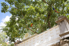 Árvore de BO sagrado, Anuradhapura, Sri Lanka fotografia de stock