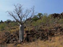 A árvore de Boab senta-se em Rocky Hillside imagem de stock royalty free