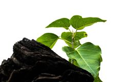 Árvore de Bodhi fotografia de stock royalty free