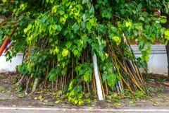 Árvore de Bodhi com fé Tailândia julho de 2016 Foto de Stock