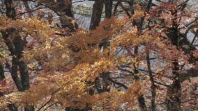 Árvore de bordo alaranjada que funde no vento na estação do outono filme