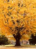 Árvore de bordo amarela grande no parque de Japão Imagem de Stock
