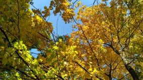 A árvore de bordo amarelada coroa contra o céu azul no outono FO Imagens de Stock