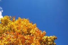 A árvore de bordo com amarelo sae no fundo do céu azul Imagem de Stock