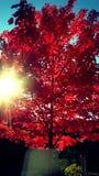 Árvore de bordo da queda Imagem de Stock Royalty Free