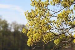 Árvore de bordo de florescência imagem de stock royalty free