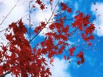 A árvore de bordo deixa tornar-se vermelha com o fundo do céu azul na queda foto de stock