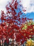A árvore de bordo deixa tornar-se vermelha na queda imagem de stock royalty free