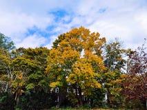 A árvore de bordo do açúcar deixa tornar-se amarela na queda fotos de stock royalty free