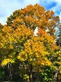 A árvore de bordo do açúcar deixa tornar-se amarela na queda foto de stock