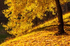 Árvore de bordo do amarelo do parque do outono Foto de Stock
