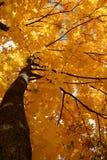 Árvore de bordo do outono no fundo do sol Imagem de Stock Royalty Free