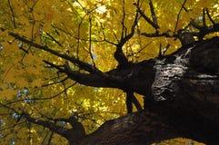 Árvore de bordo durante o outono Foto de Stock Royalty Free