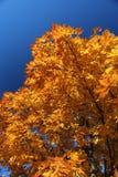Árvore de bordo e céu azul Fotografia de Stock Royalty Free
