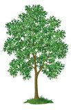 Árvore de bordo e grama verde Fotos de Stock