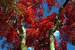 Árvore de bordo japonês no outono Fotografia de Stock Royalty Free