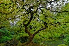 Árvore de bordo japonês velha Imagem de Stock Royalty Free