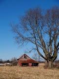 Árvore de bordo Leafless ao lado de um celeiro velho Fotografia de Stock