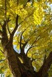 Árvore de bordo na queda Imagens de Stock
