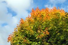 Árvore de bordo no outono Fotografia de Stock Royalty Free