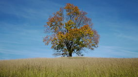 Árvore de bordo que mostra as cores do outono vídeos de arquivo